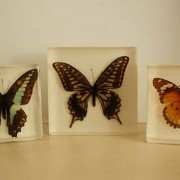 annaherold-perhosia